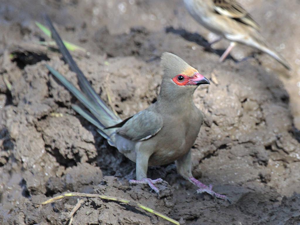 Xem vui : Chim chuột đây A-red-faced-mousebird-rh1