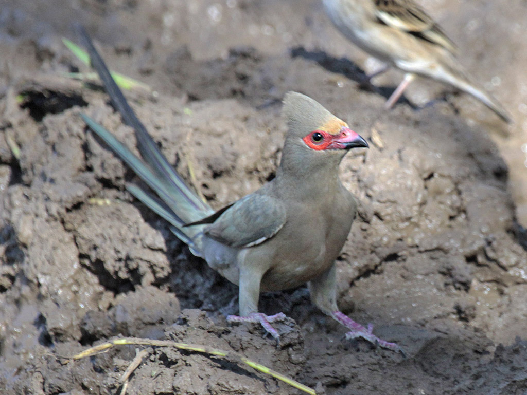 https://hermanusbirdclub.files.wordpress.com/2012/09/a-red-faced-mousebird-rh1.jpg?w=1024