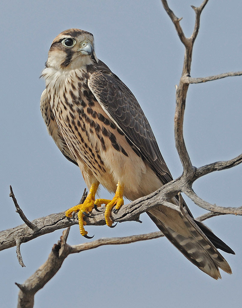 Related Keywords Suggestions For Lanner Falcon