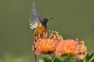 Orange-Breasted Sunbird