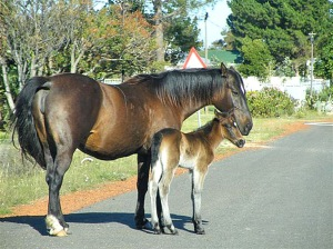 Wild Horse and Foal in Fisherhaven