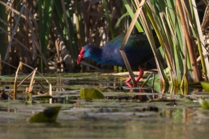 African Swamphen at Stanford dam.