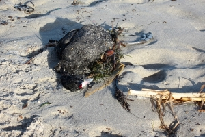 Drowned Red-knobbed Coot on Grotto beach.