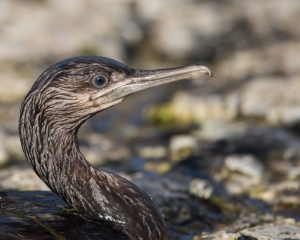 A young Cape Cormorant (Trekduiker) similar to the one found near Hermanus High School. Image: Charles Naudé