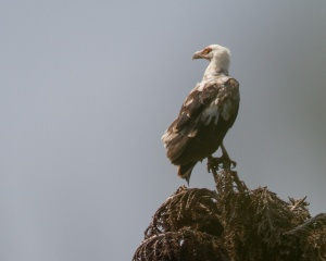 A Palm-nut Vulture (Wit-aasvoël), photographed in KwaZulu Natal by Charles Naudé.