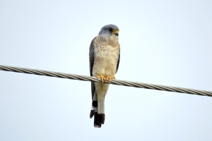 a Lesser Kestrel male