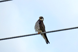 Amur Falcon female (1)