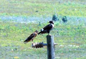 Hungry Jackal Buzzards