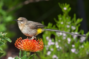 Suikervoël, Kaapse (Sugarbird, Cape), 130921 Hermanus 0316
