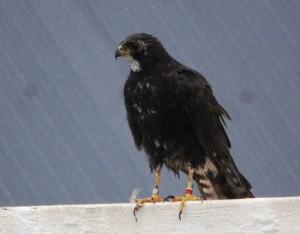 Black Sparrowhawk (1)