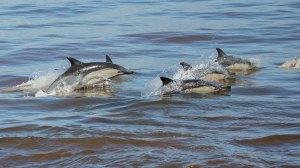 Dolfyn, gewone (Dolphin, common long-beaked) 160310 Dyer-eiland Walkerbaai 672A4420