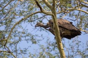 Vuurvinkie, rooibek- (Firefinch, red-billed) 160206 Pafuri, Kruger-wildtuin 672A2437