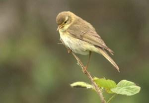 Willow Warbler -1