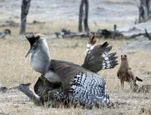 Kori Bustards and Tawny Eagle