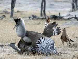 Kori Bustards and Tawny Eagle