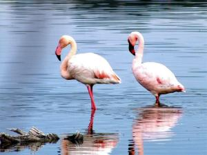 Greater and Lesser Flamingo-