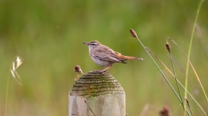 Wipstert, rooistert- (Scrub-robin, rufous-tailed) 160901 Zeekoevlei 672A0622