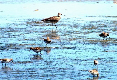Curlew and Curlew Sand-Pipers