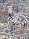 Zebra at Bontebok Park