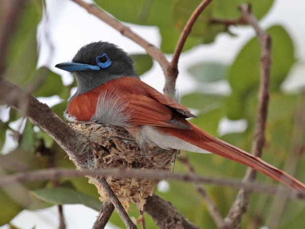 Paradise Flycatcher (2)