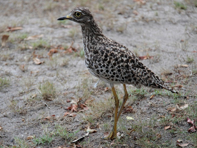 Sp Thick_knee