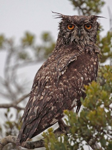 A very wet Spotted Eagle Owl