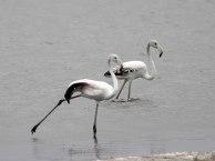 Juvenile Greater Flamingos
