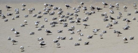 Hartlaub's Gulls