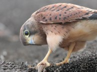 Coy juvenile Rock Kestrel