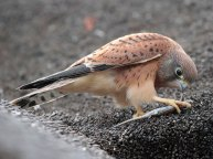 Juvenile Rock Kestrel and prey