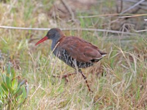 The rare and poorly captured African Rail