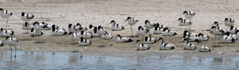Pied Avocets