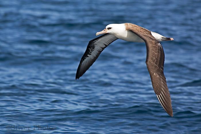 laysan_albatross10