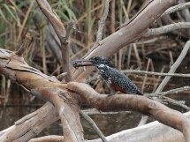 Giant Kingfisher and prey