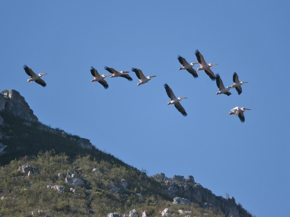 Fernkloof pelicans