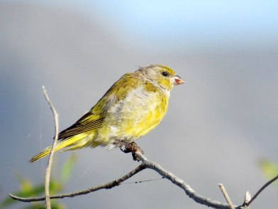 Cape Canary (M)