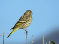 Cape Canary (F)