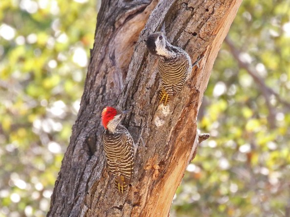 A pair of Cardinal Woodpeckers