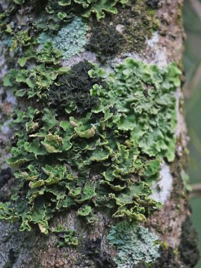 Lichen on a tree stem