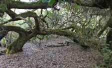 'Walking' milkwoods