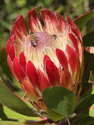 Protea obtusifolia with pollinators