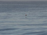 Brown Skua way out to sea