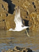 Common Greenshank