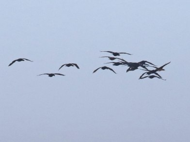 Cape Cormorants flying past