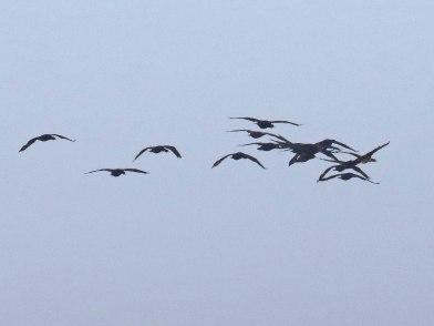 Cape Cormorants flying past