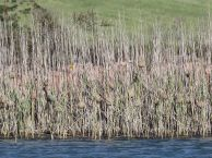 Cape Weaver colony on one of the dams