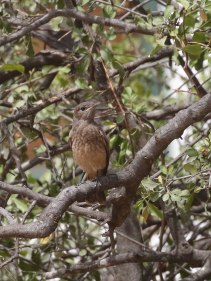 Juvenile Cape Robin Chat