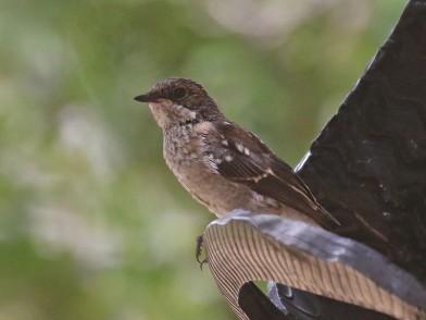 Juvenile Fiscal Flycatcher