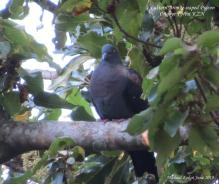 Eastern Bronze-naped Pigeon 1
