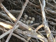 Nine Egyptian Goose eggs